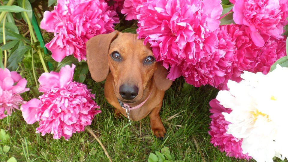 Pin By Lauri Stavale On Doxies Dog Cat Dogs Winnie Dogs