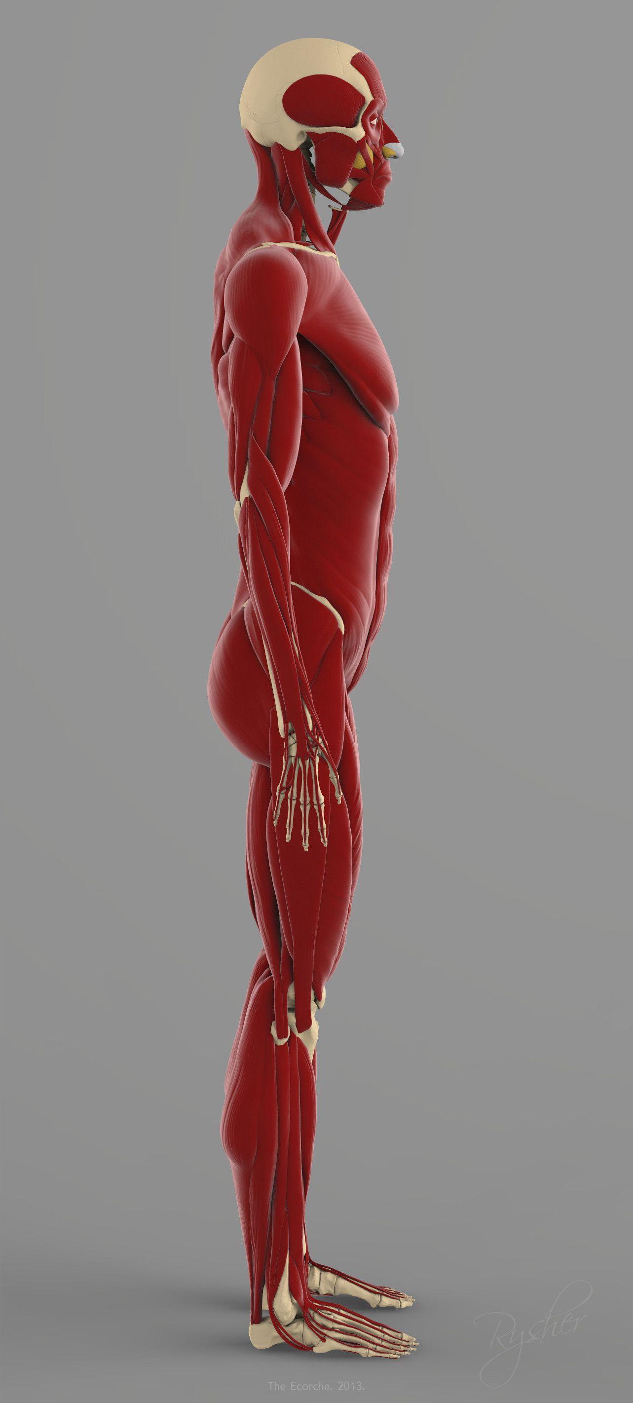 precise human skeleton muscles 3d model | drawings | Pinterest ...