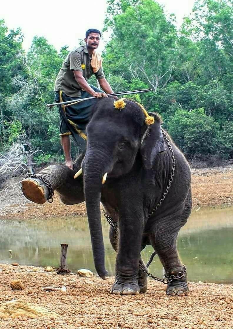 Poor baby Rana (52018) Kerala india, Elephant, Animals