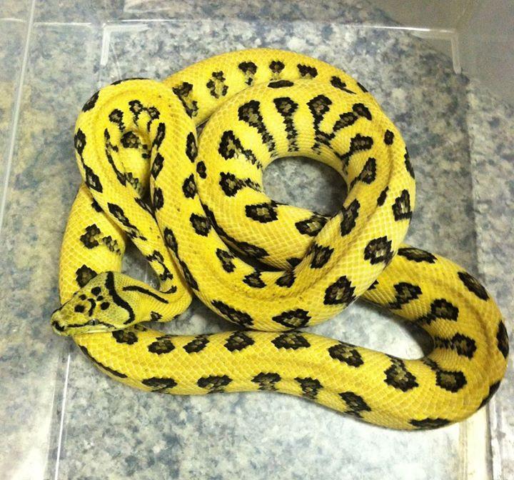 39jaguar Irian Jaya39 Carpet Python Psychotic Exotics