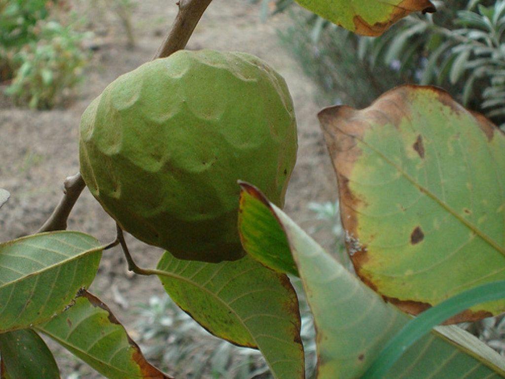 Las propiedades medicinales de la chirimoya salud red for Planta decorativa propiedades medicinales