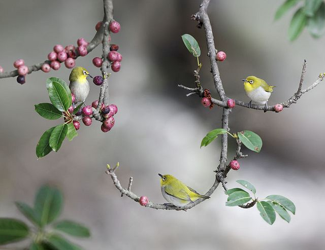Beautiful Bird Photography 如如美學 / John  & Fish Gallery 台北市 大直 明水路672巷27號 No.27, Lane.672, Mingshui Road Taipei Taiwan  Japanese White Eye, taken at Waishuanghsi, Taipei City, TAIWAN