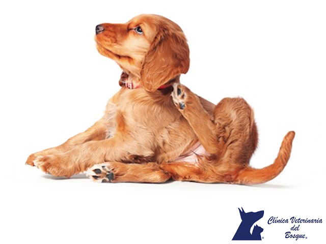 La demodicosis canina. LA MEJOR CLÍNICA VETERINARIA DE MÉXICO. La demodicosis, se presenta en pacientes inmunocomprometidos, cachorros, perros que están bajo estrés o tratamiento con corticoides, es común confundirla con otras enfermedades de la piel.  En Clínica Veterinaria del Bosque te recomendamos acudir con un especialista para prevenir esta enfermedad en tu mascota. www.veterinariadelbosque.com  #esteticacanina
