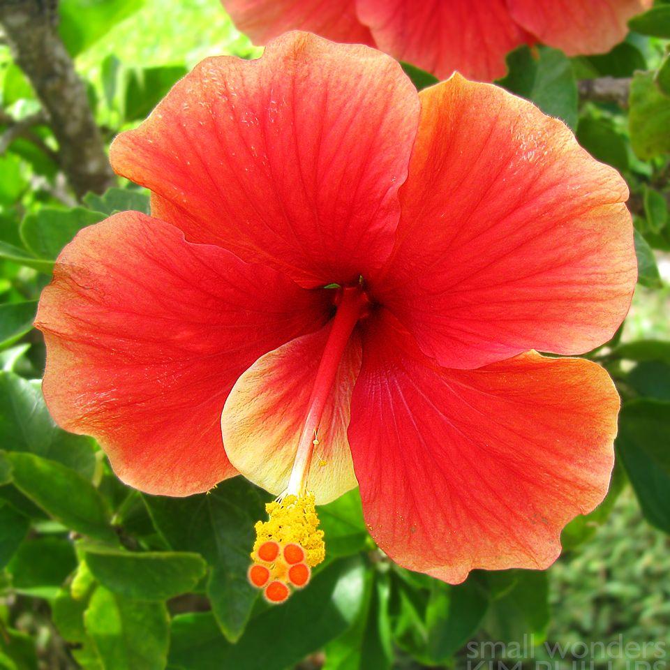 Tropical Hibiscus (Hibiscus rosasinensis) Common Names