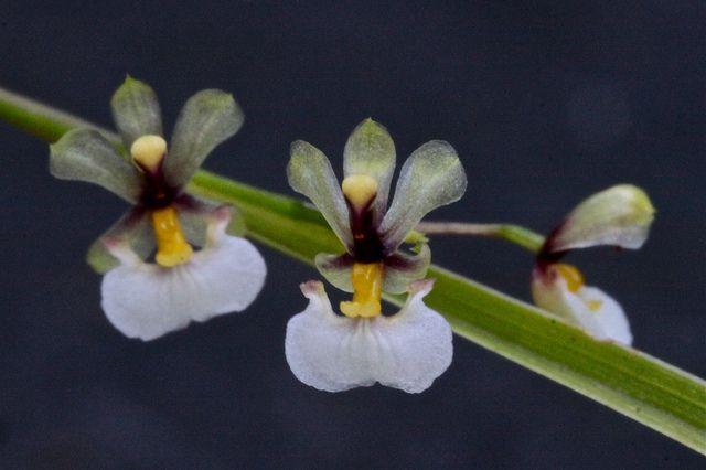 Sigmatostalix radicans [Synonym: Ornithophora radicans ...