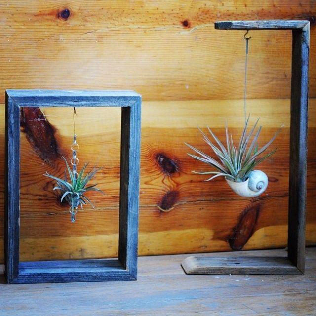 Tillandsia hanging in a frame