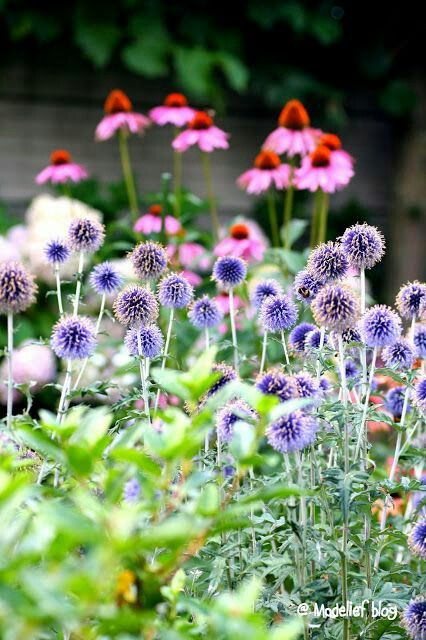 Pink Blue And White Palette Coneflower W Alliums Echinops And White Snowy Flowers Summer Flowers Beautiful Flowers Echinacea