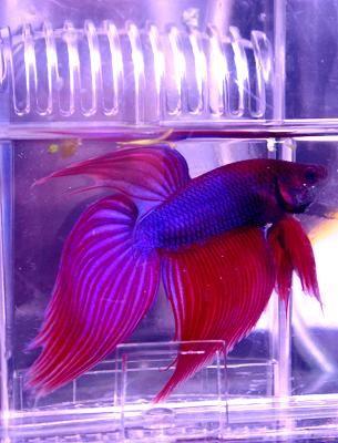 Buy a Pet!  Sommerset Plaza beta fish.  http://www.familypetandaquarium.com/our_pets.php