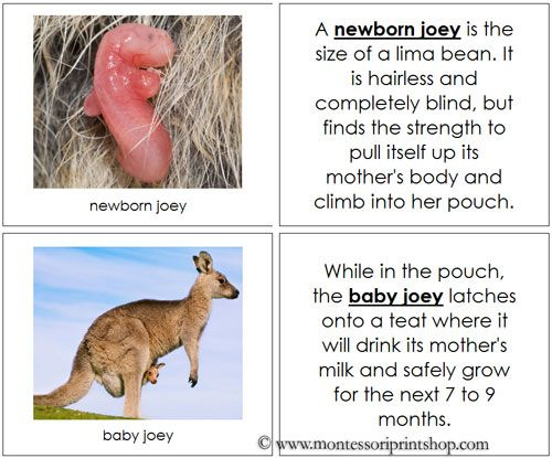Kangaroo Life Cycle Book  Illustrates And Describes The