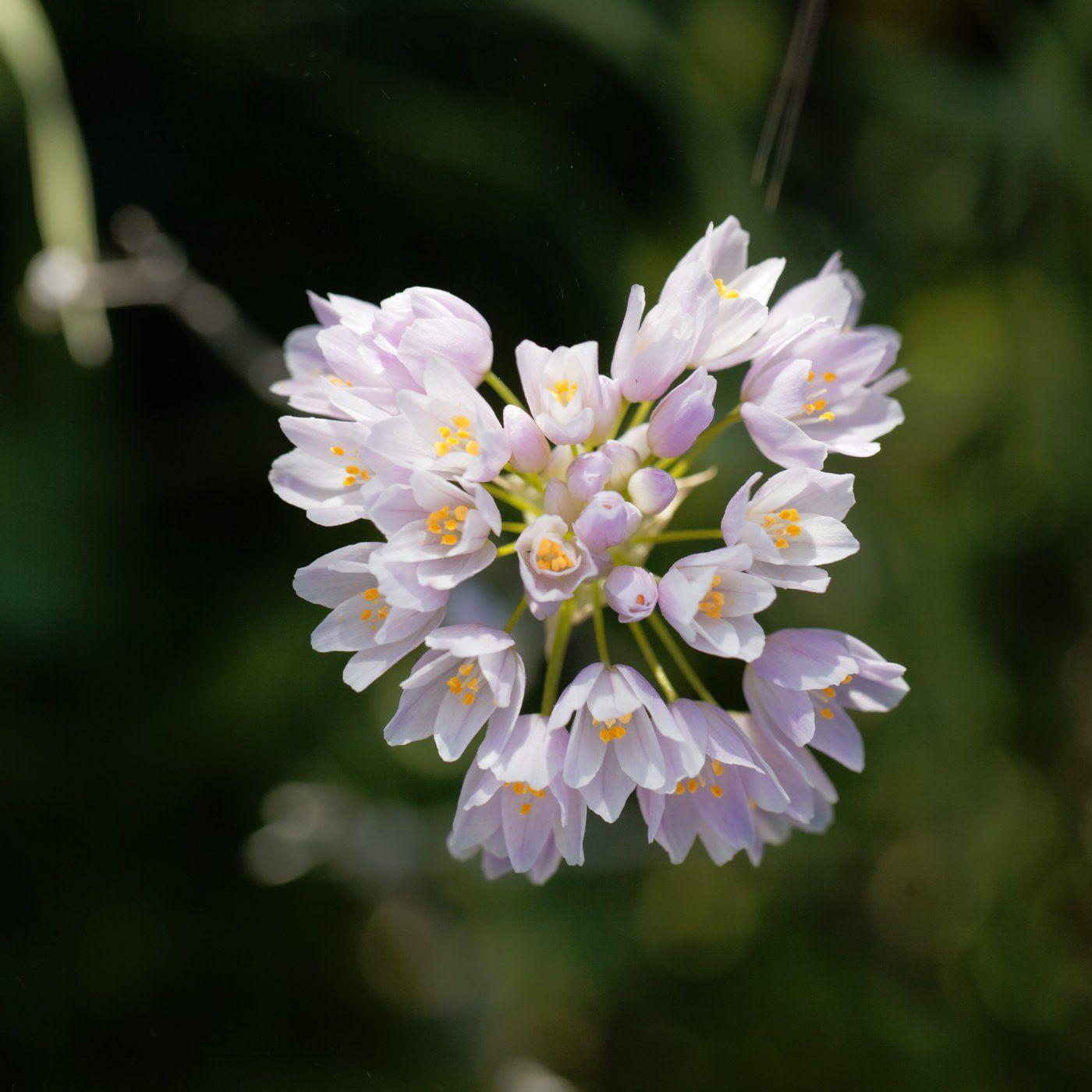 Allium Roseum (Rosy Garlic)