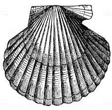 R sultat de recherche d 39 images pour dessin coquille saint - Coquille saint jacques dessin ...