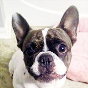 French Bulldog Rescue Network Genevive In Fl French Bulldog
