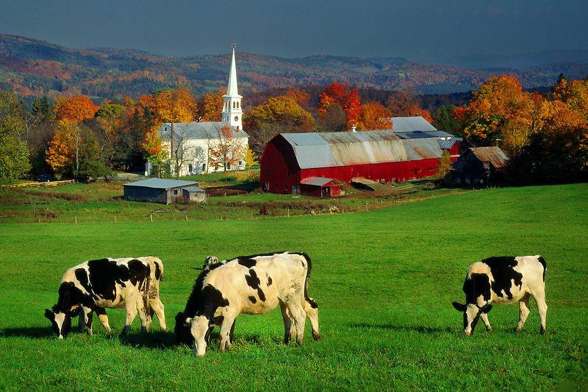 Cows in pasture, Peacham, Vermont Farm scenery, Farm