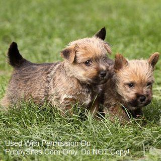 Norfolk Terrier Dog Puppy Websites Norwich Terrier Puppy