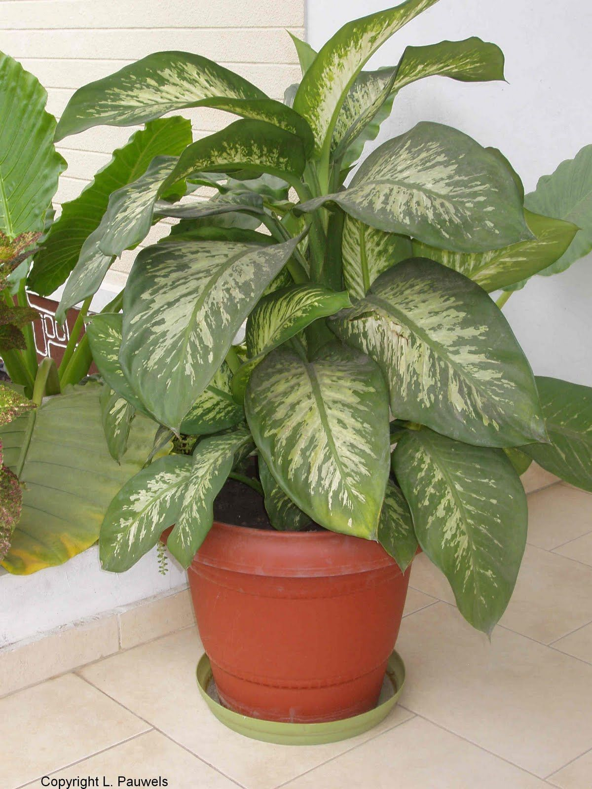 house plants pictures and names | House Plants,Plants House ... on household tropical plants, tall modern house plants, tall bamboo house plants, tall tropical trees, indoor plants, large leaf plants, tall orchids, long tropical leaf plants, tall flowers, tall cactus house plants, tall plant table, tall red house plants, tall container gardening, types of house plants, tall tree house plants, tall house plants low light, tall common house plants, tall tropical pots,