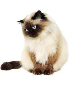 Siamese Cats Are Among The Most Popular Of Cat Breeds Himalayan Cat Cat Furry Cat Breeds