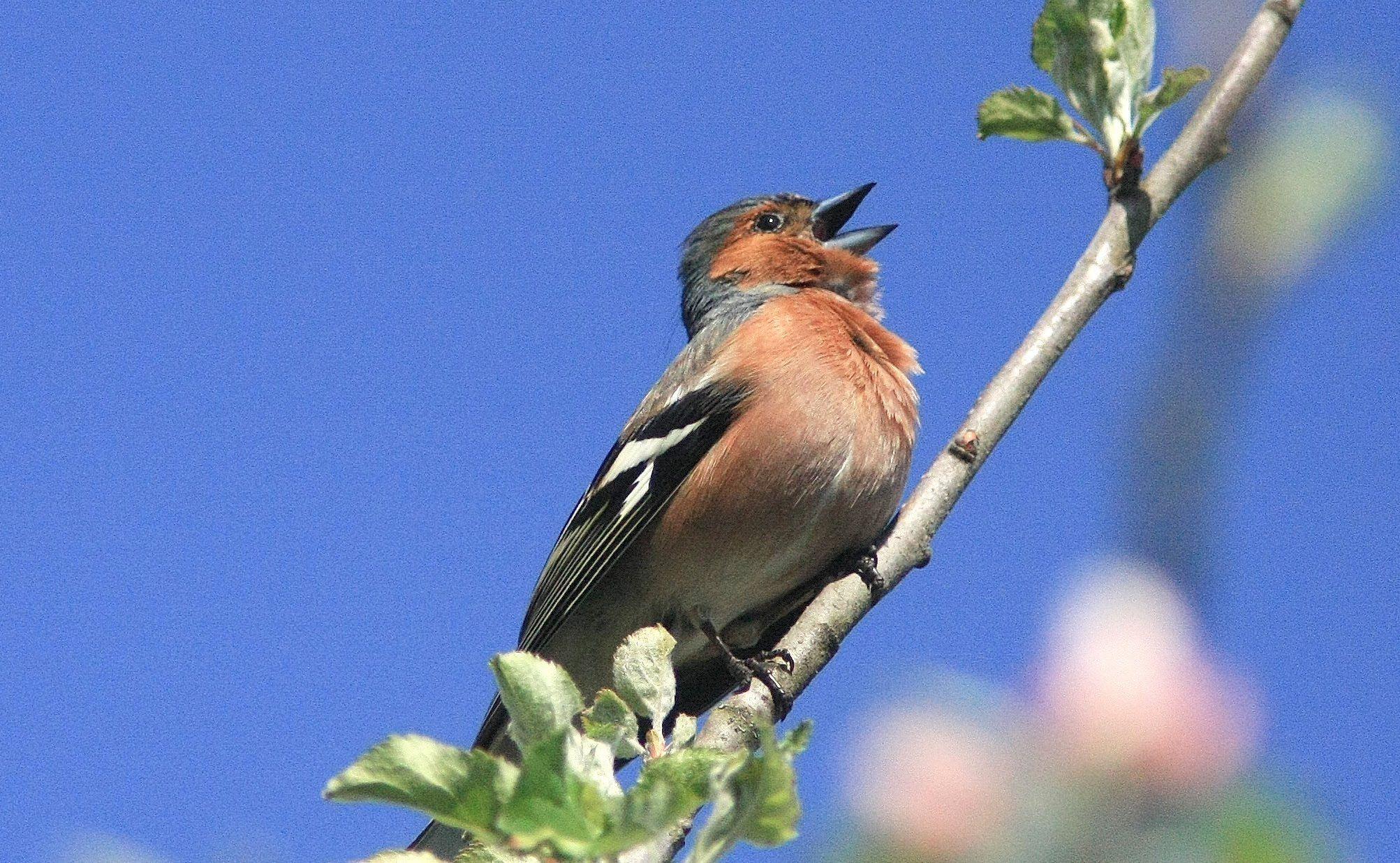 Moineau tourterelle turque pinson et verdier oiseaux dans mon jar oiseaux de nos - Chant fauvette des jardins ...