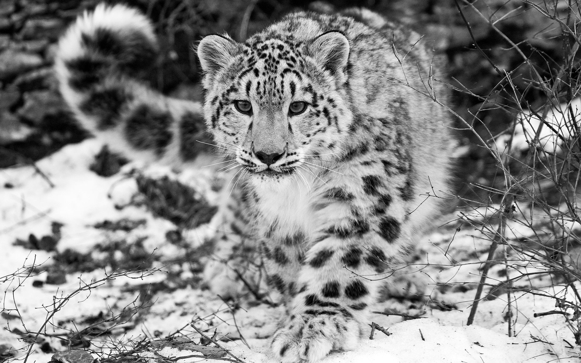 The Snow Leopard 4179311 Amazing Animals Pinterest Leopards