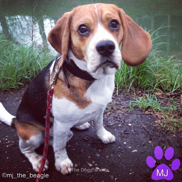 Pin About Beagle Dog And Beagle On Beagles