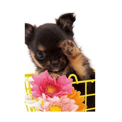 Appleone Jigsaw Puzzle 108 066 Lovely Chihuahua Dog 108 Pieces Chihuahua Dogs Dogs Cute Puppies