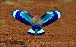 Whoa Is This Really A Bird Symmetry In Nature Indian Roller Beautiful Birds Bird