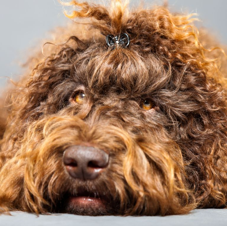 14 Curly Haired Dogs That Ll Have The Same Do As You In 2020 Dogs Curly Coated Retriever Portuguese Water Dog