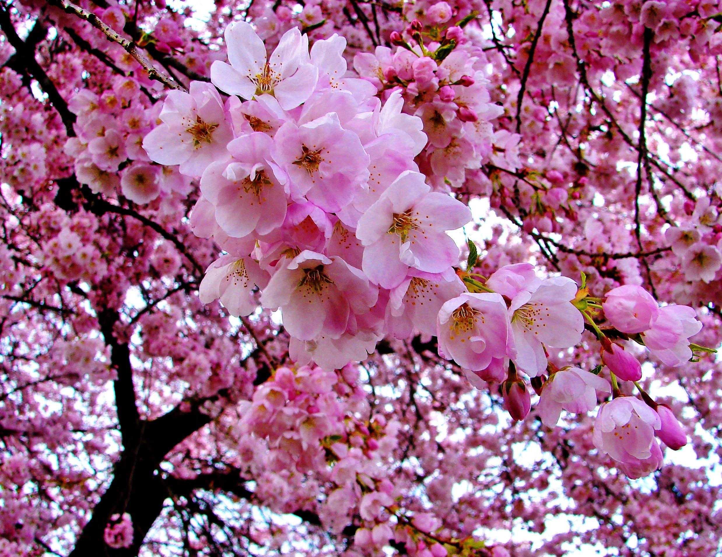 Cherry Blossoms Como Lake Park Coquitlam B C April 15 2008 Flower Photos Cherry Blossom Blossom