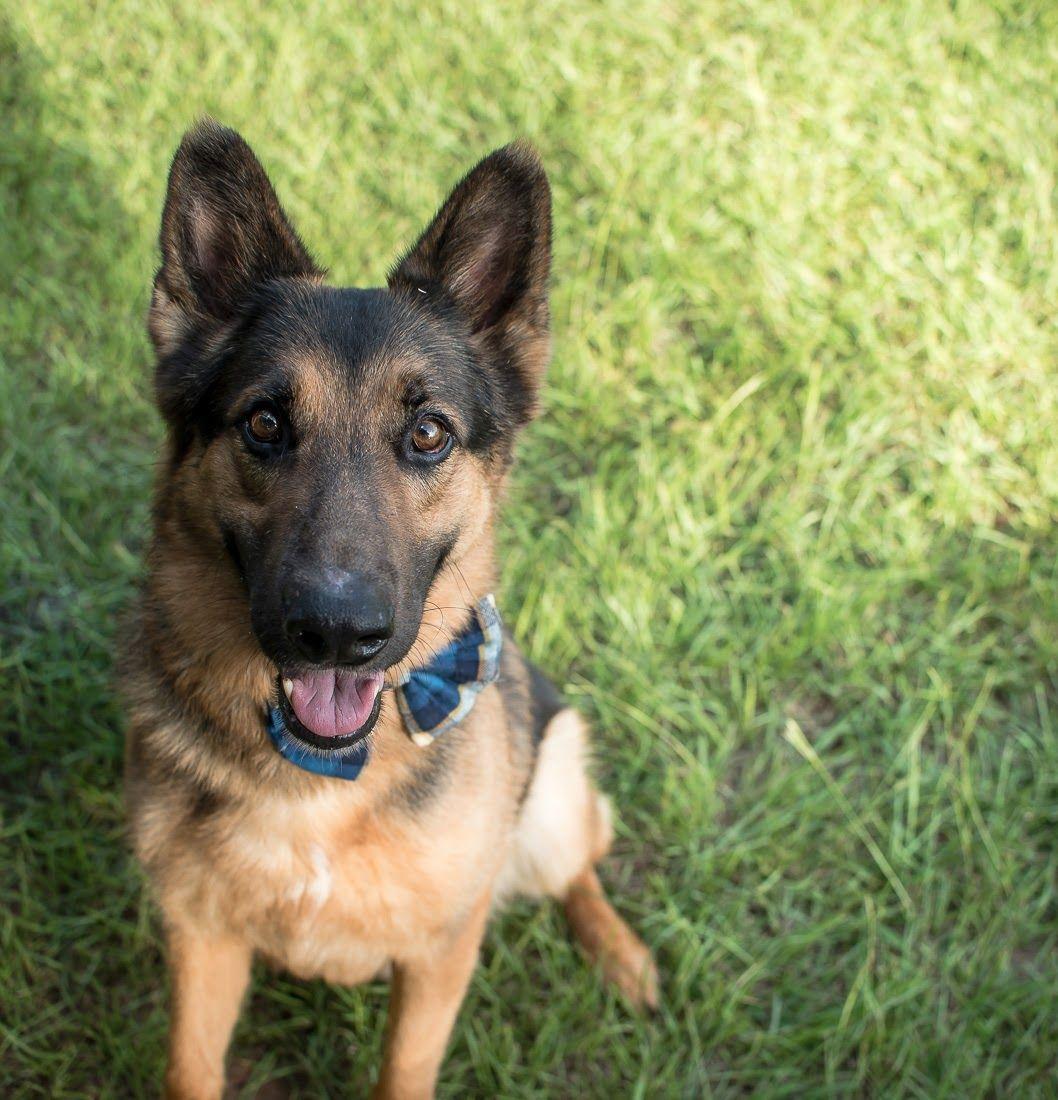 Adopt Boss on Dogs, German shepherd dogs, Animal rescue