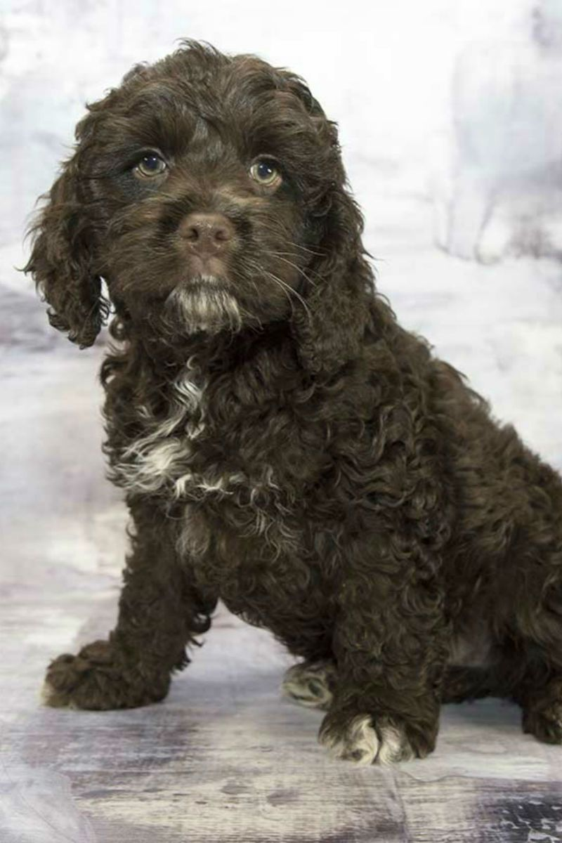 Cockapoo - A Complete Guide To The Cocker Spaniel Poodle -8760