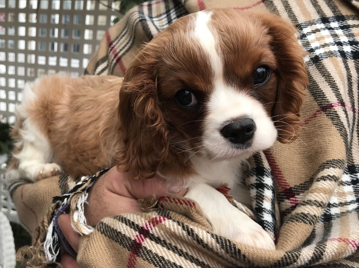 Cavalier King Charles Spaniel Puppies For Sale Sutton Ma Pictures Spaniel Puppies Spaniel Puppies For Sale King Charles Cavalier Spaniel Puppy