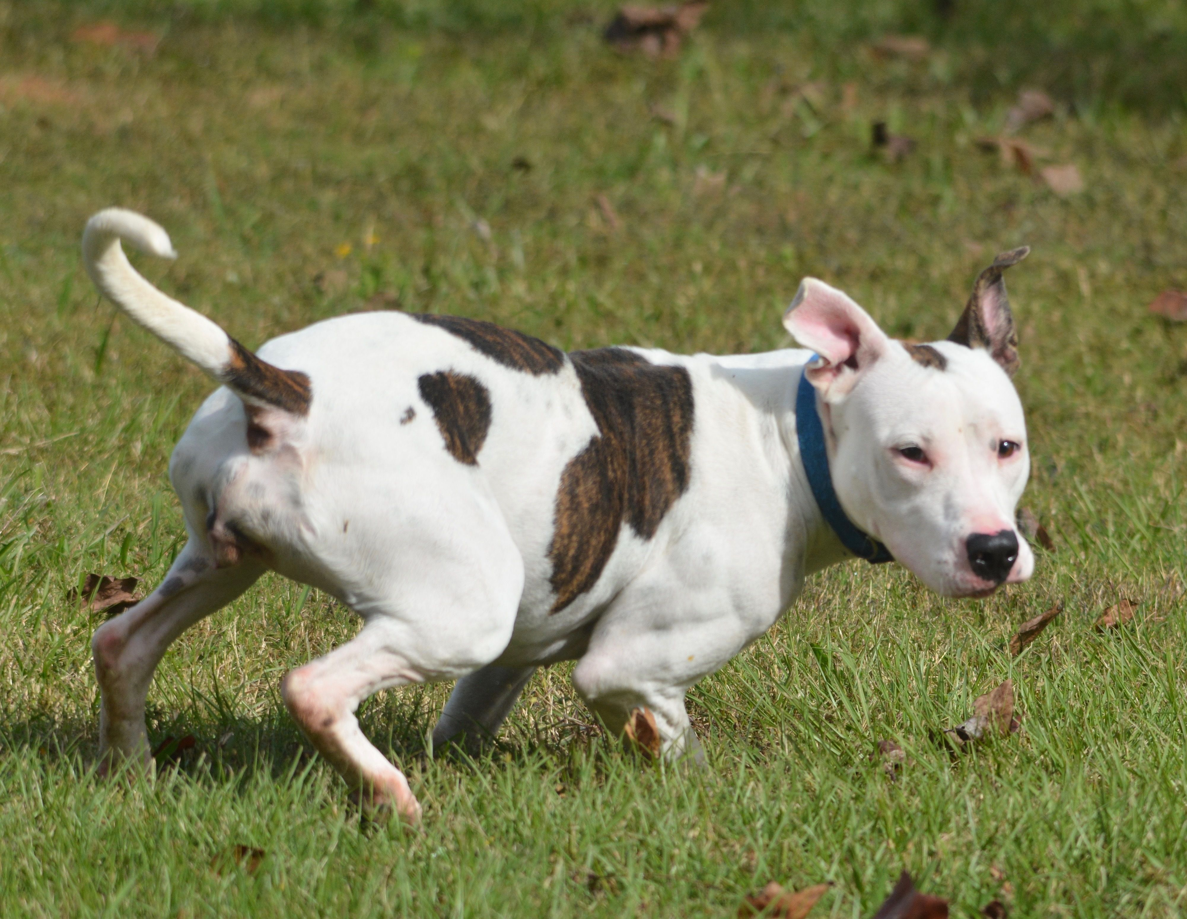 Adopt Candy on Pitbull terrier, Pitbulls, Bull terrier dog