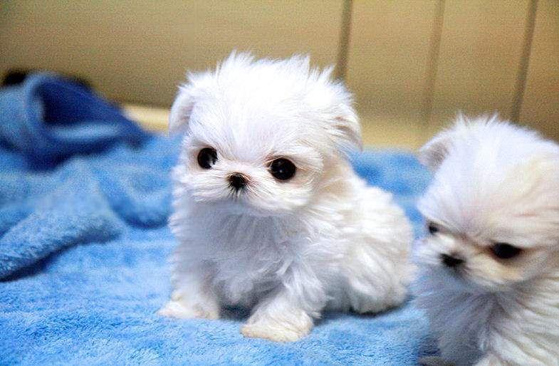 Miniature Poodle Miniature Maltese Poodle Johannesburg Dogs