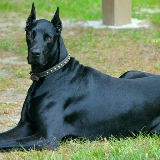 Doberdane Nyx Dogs Doberman Dogs Beautiful Dogs Doberman