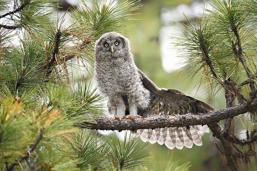 Can Someone Show Me How To Use This Wing Great Grey Owl Gray Owl Owl Wallpaper