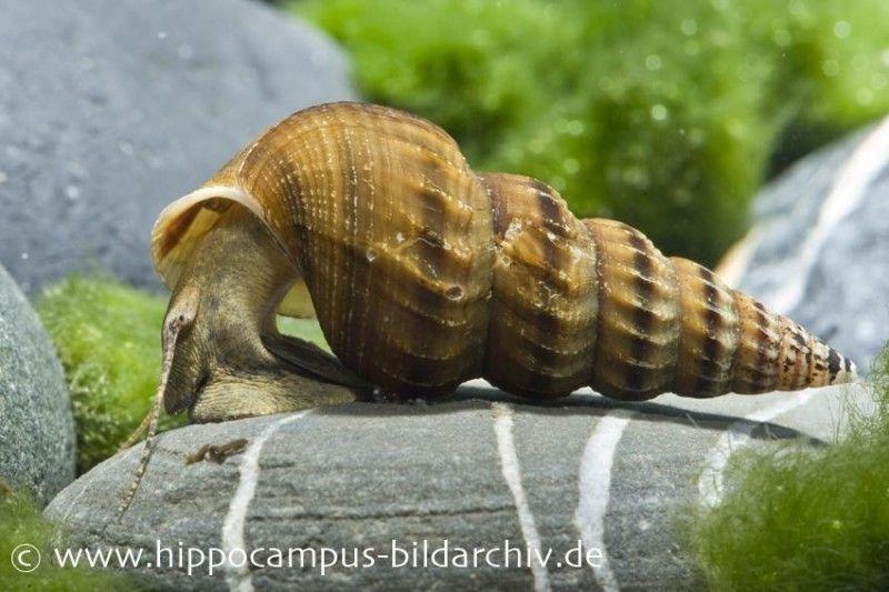 Riesen Turmdeckelschnecke Brotia Herculea Tiere Schnecken Schnecken Wasserschnecken Aquarium Fische Susswasser