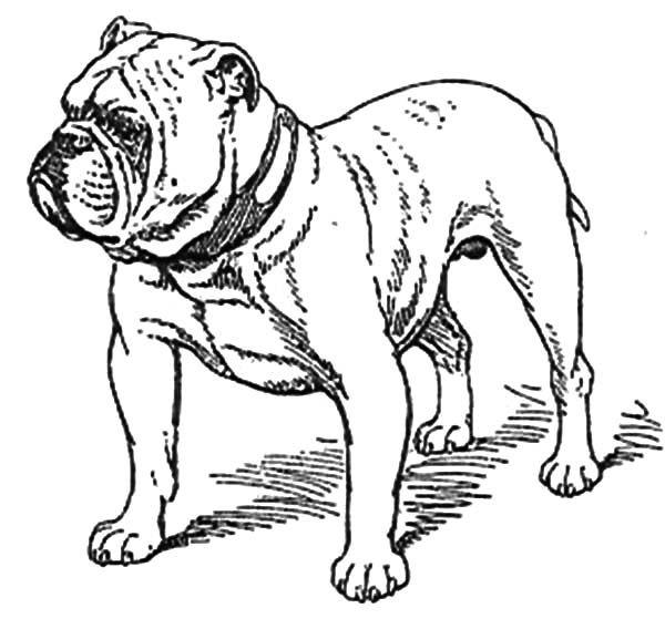 Old Bulldog Coloring Pages Best Place to Color Dog