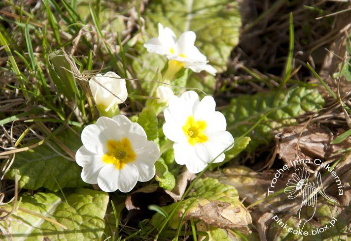 Pierwiosnek Jadalne Kwiaty Plants