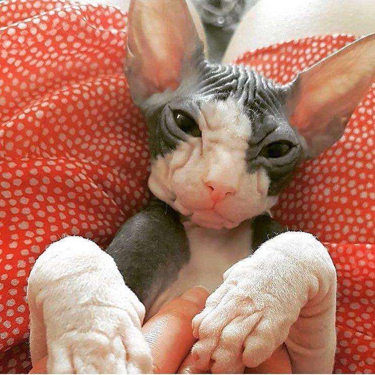 Park Art My WordPress Blog_Sphynx Cat For Sale Central Texas