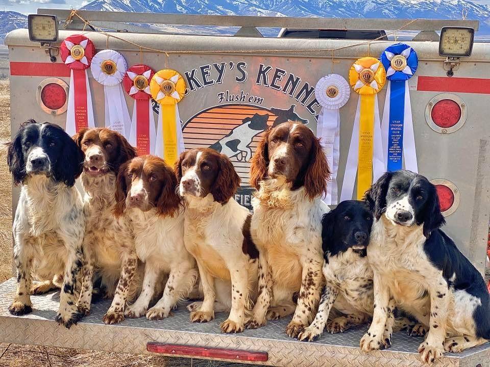 Rockey S Kennel Springers In 2020 Animals Beautiful Spaniel English Springer Spaniel