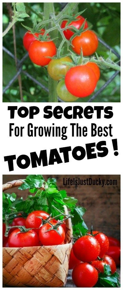 16 Top Secrets for Growing Great Tomatoes  Life Is Just Ducky