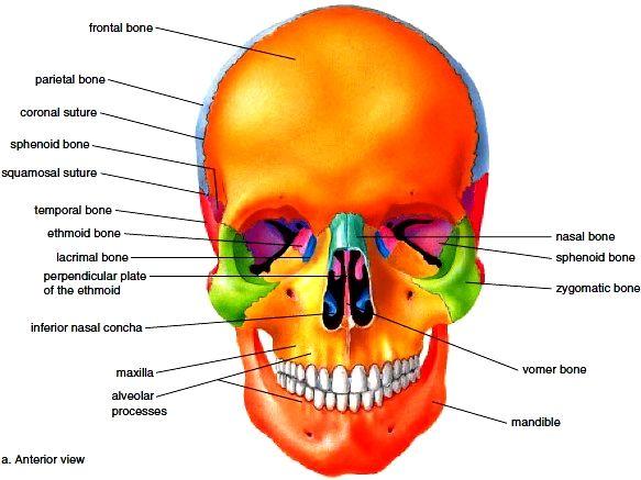 Axial Skeleton Skull Diagram 2002 Dodge Stratus Relay Bones Of The Cranium Face Hyoid Bone
