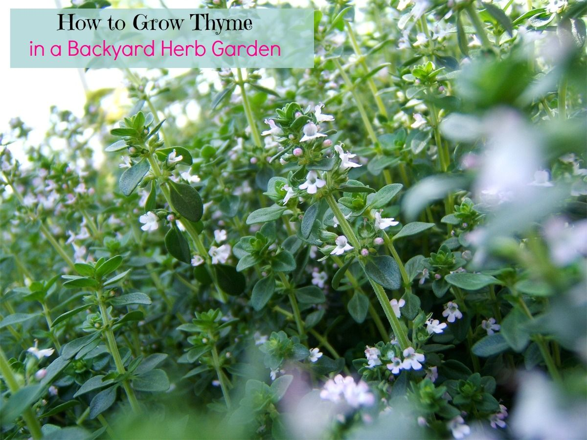 how to grow thyme in a backyard herb garden and what to do with it