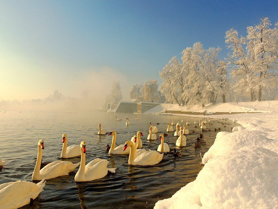 68 best croatia images on pinterest croatia travel dubrovnik 275 walk with the swans by the river in this beautiful winter wonderland in karlovac beautiful birdsswanscroatiathe sciox Gallery