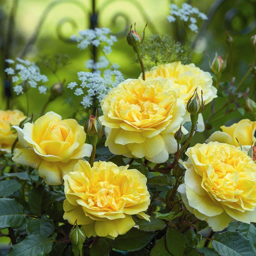 Rose The Poet S Wife Hybrid Tea Roses Shrub Roses Types Of Roses