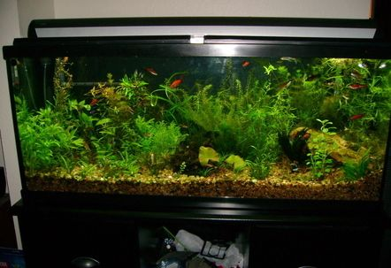 Standard 55 Gallon Glass Tank Started As A Community With No Live Plants And Has Been Morphing Into The Fully Planted You See