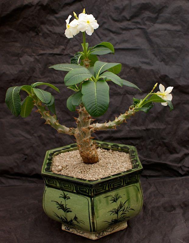 Pachypodium windsori , spécimen très rare à fleurs blanches. Photo et plantes : Gérard Denis - Le Cactus Alpin