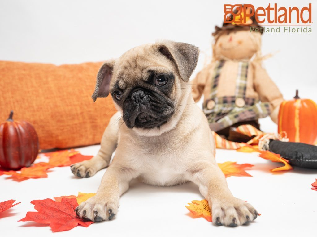 Puppies For Sale Pug Puppies For Sale Puppies For Sale Puppies