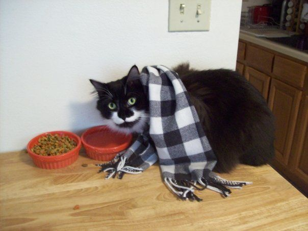 File:Black-and-white Maine Coon cat, wearing a scarf.jpg ...