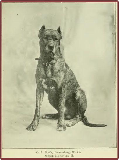 Major Mckinley American Great Dane 1897 William Mckinley Was