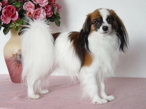 Top Phalène Papillon dog, Smartest dog breeds, Lap dogs